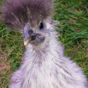 silkie chicken world